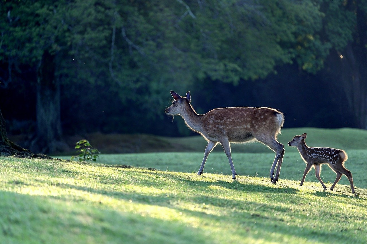 where do deer go to give birth