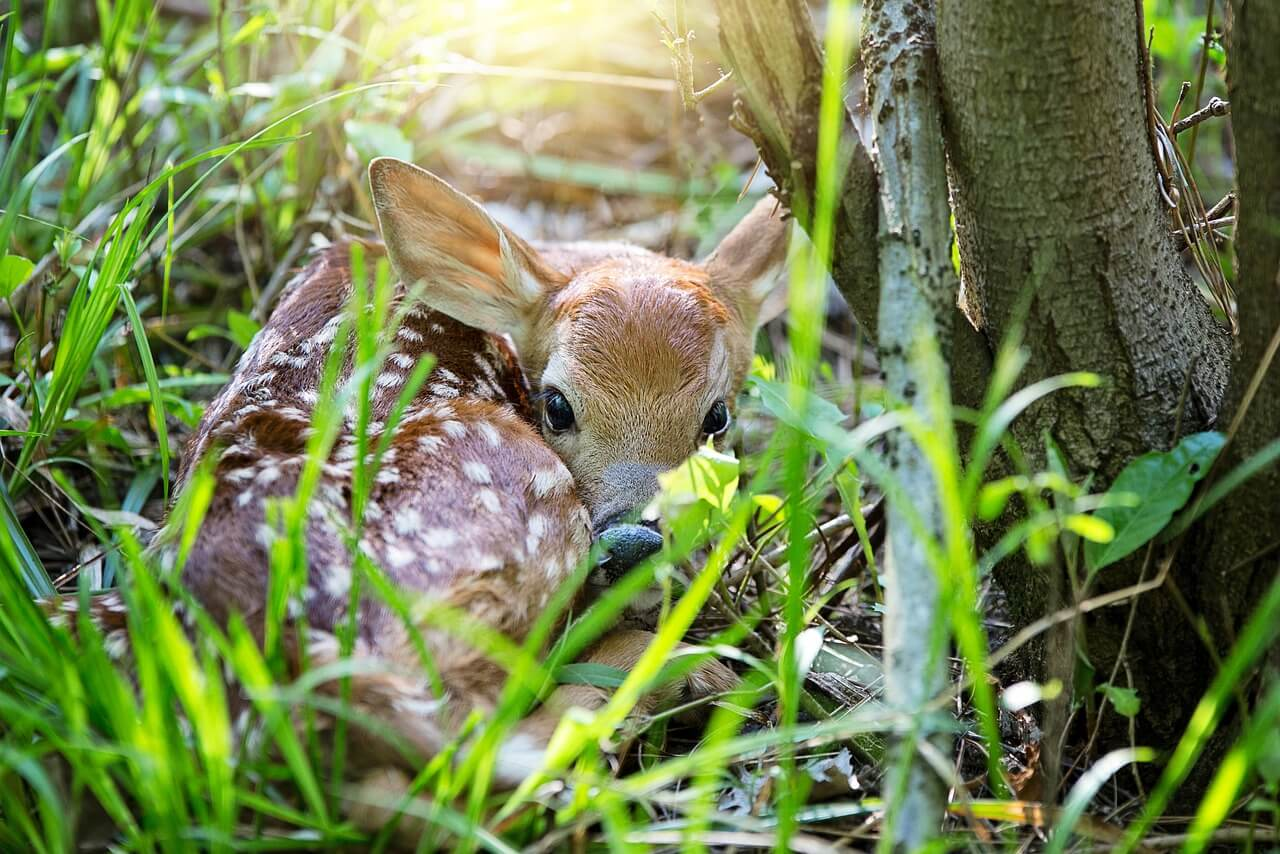 how to take care of a baby deer