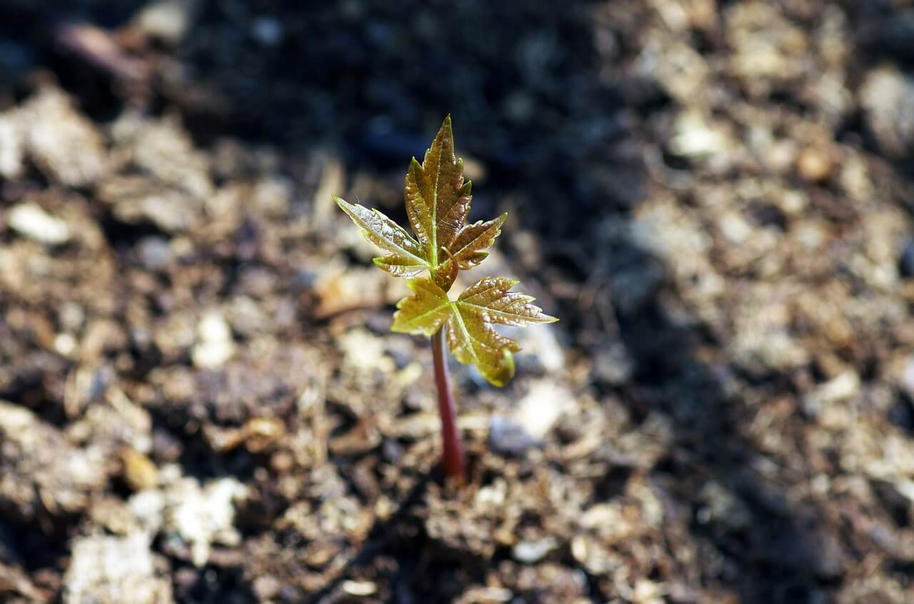 how to grow a maple tree from seed