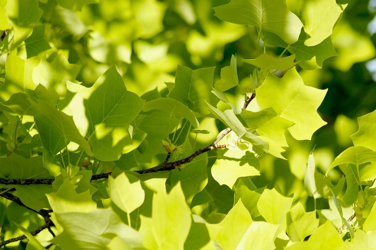 how do i know if my maple tree is dying