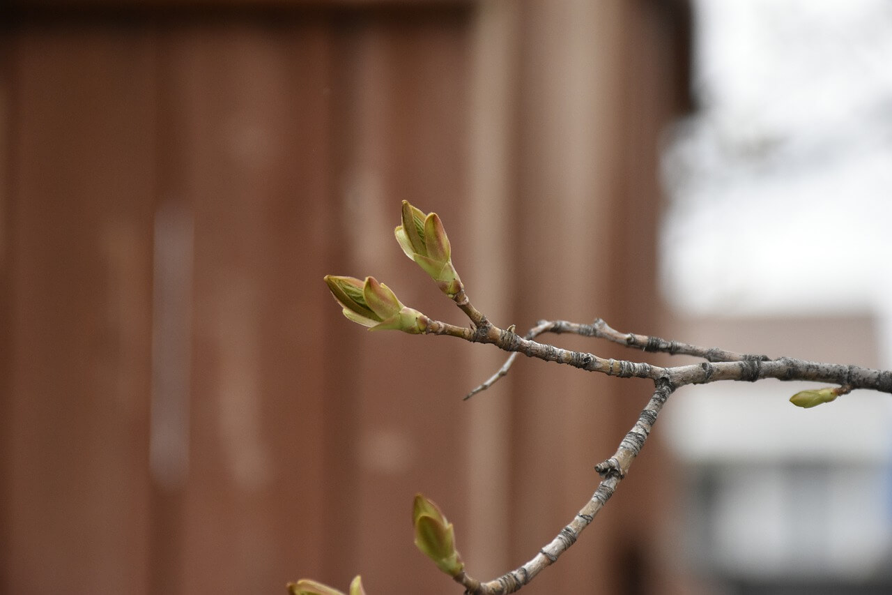 when to prune a maple tree