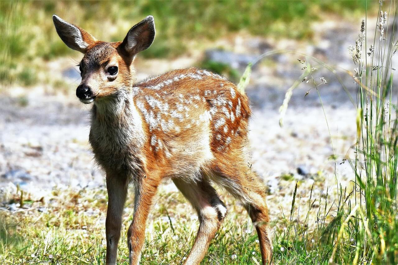 what to do if a fawn is alone