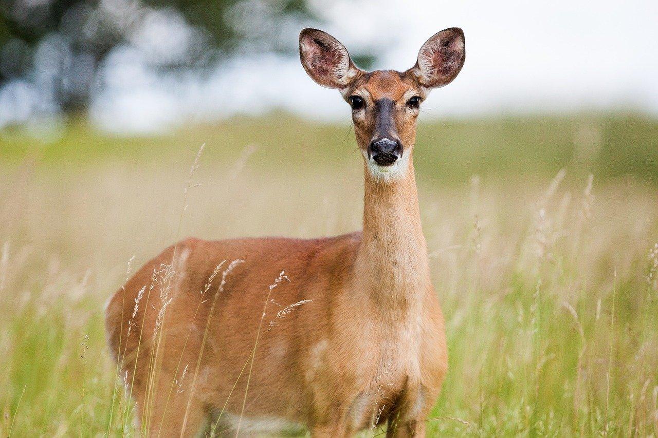 when do deer get pregnant