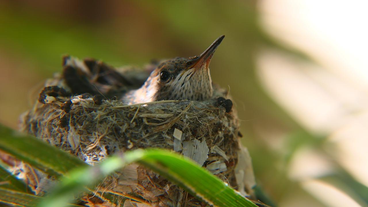 where do hummingbirds nest at night