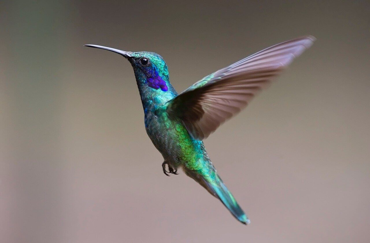 where do hummingbirds go when it gets cold