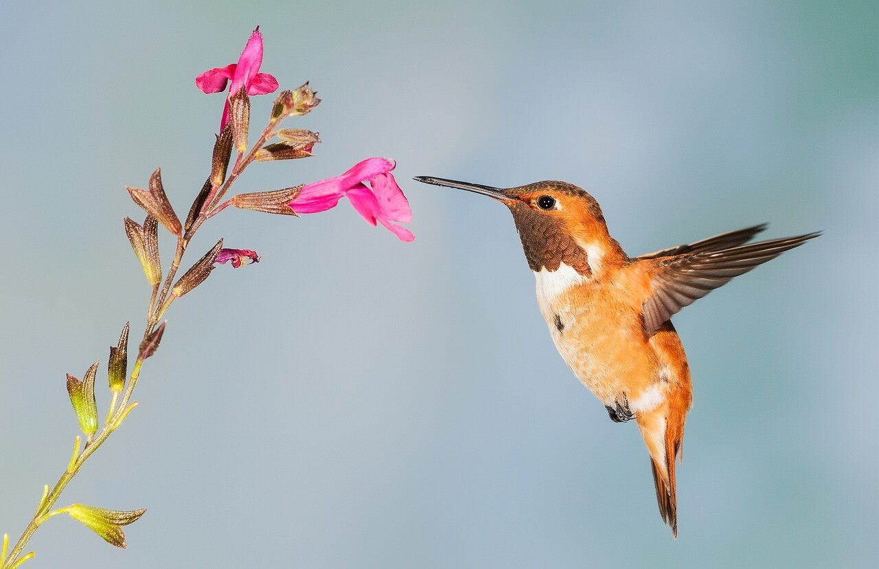 do hummingbirds have a natural enemy