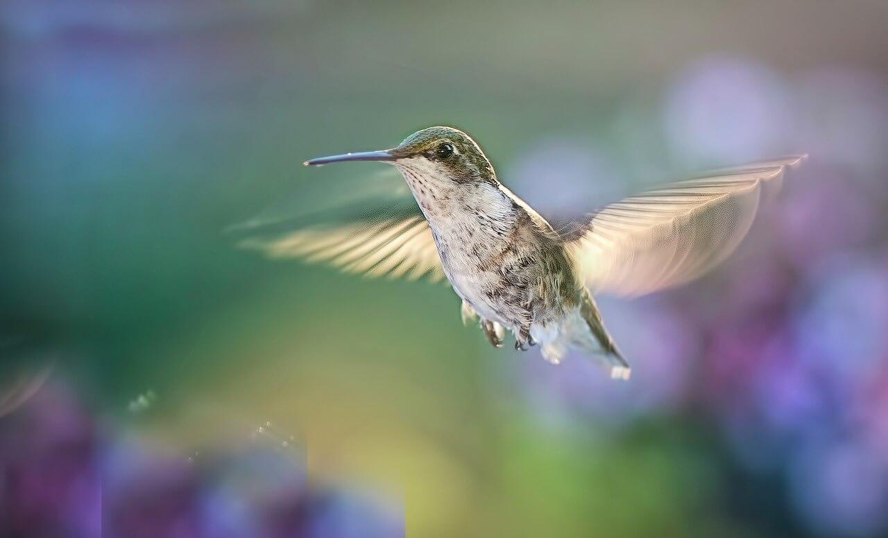 can hummingbirds be aggressive