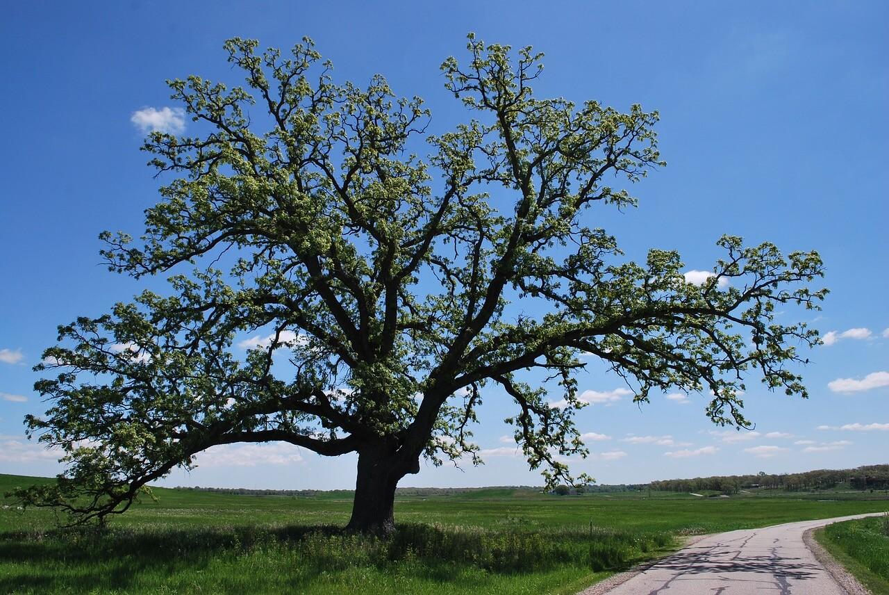 oak tree companion plants
