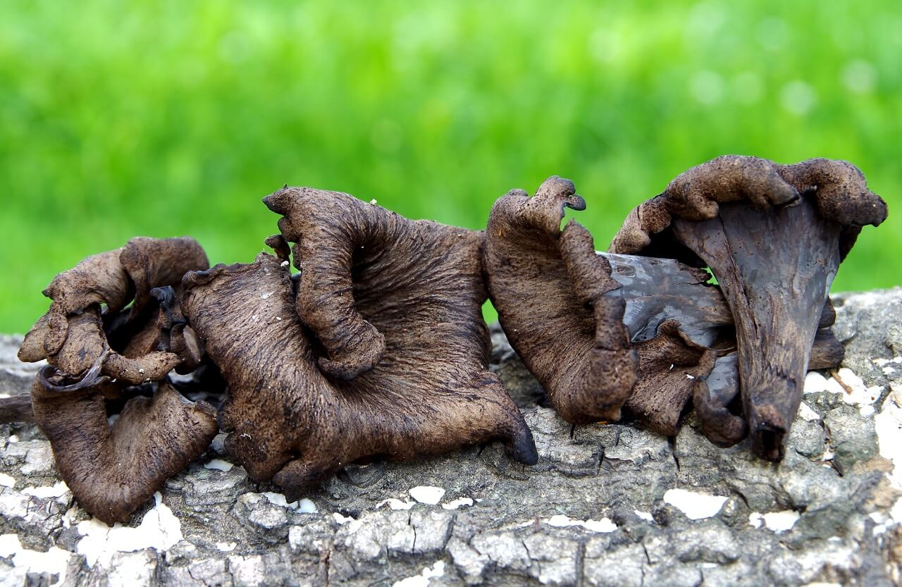 what are black trumpet mushrooms good for