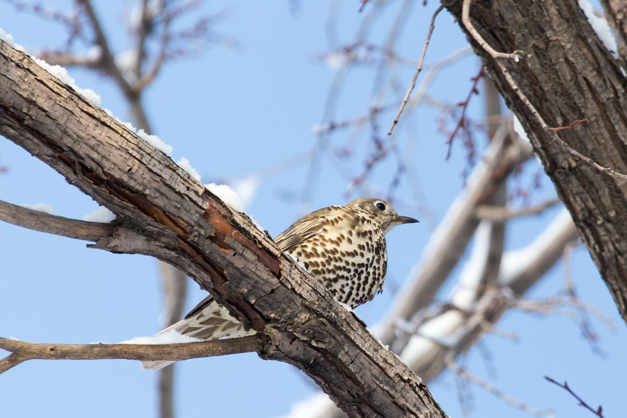do cuckoo birds live in the US