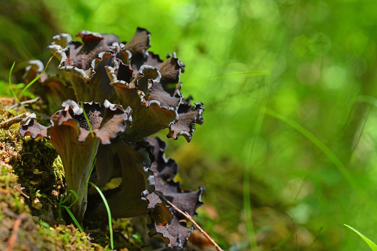 are black trumpet mushrooms psychedelic
