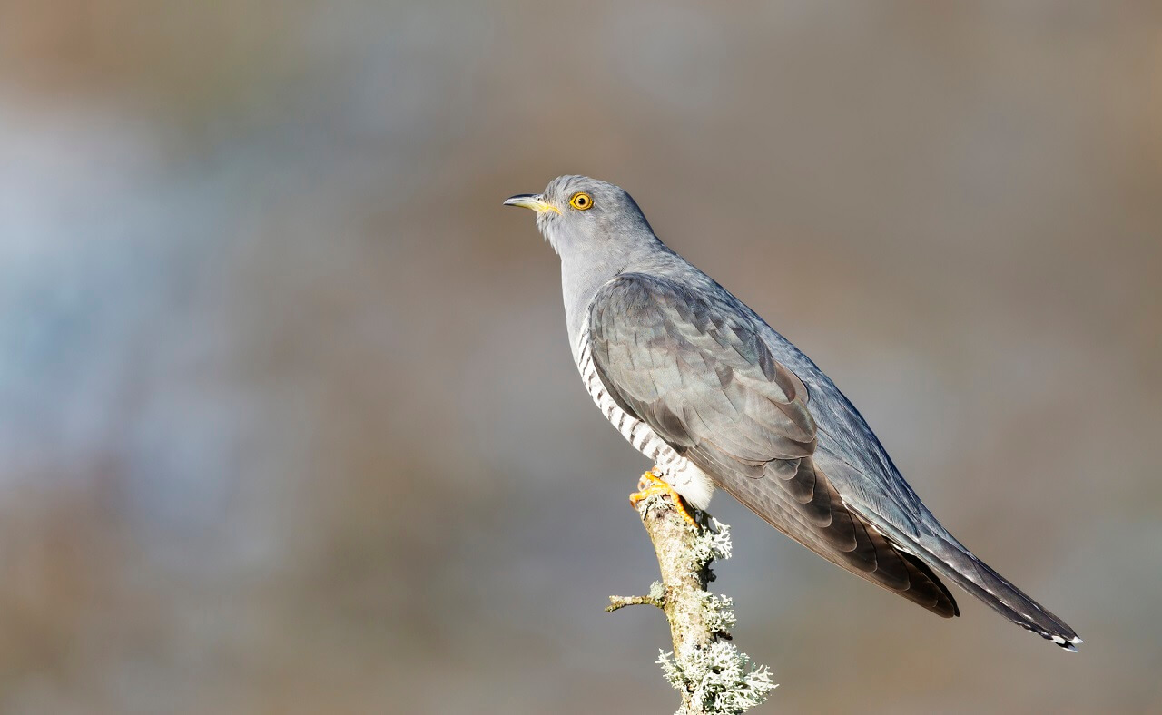 how long do cuckoos stay in the US