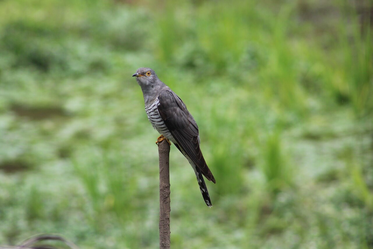 what food does cuckoo eat
