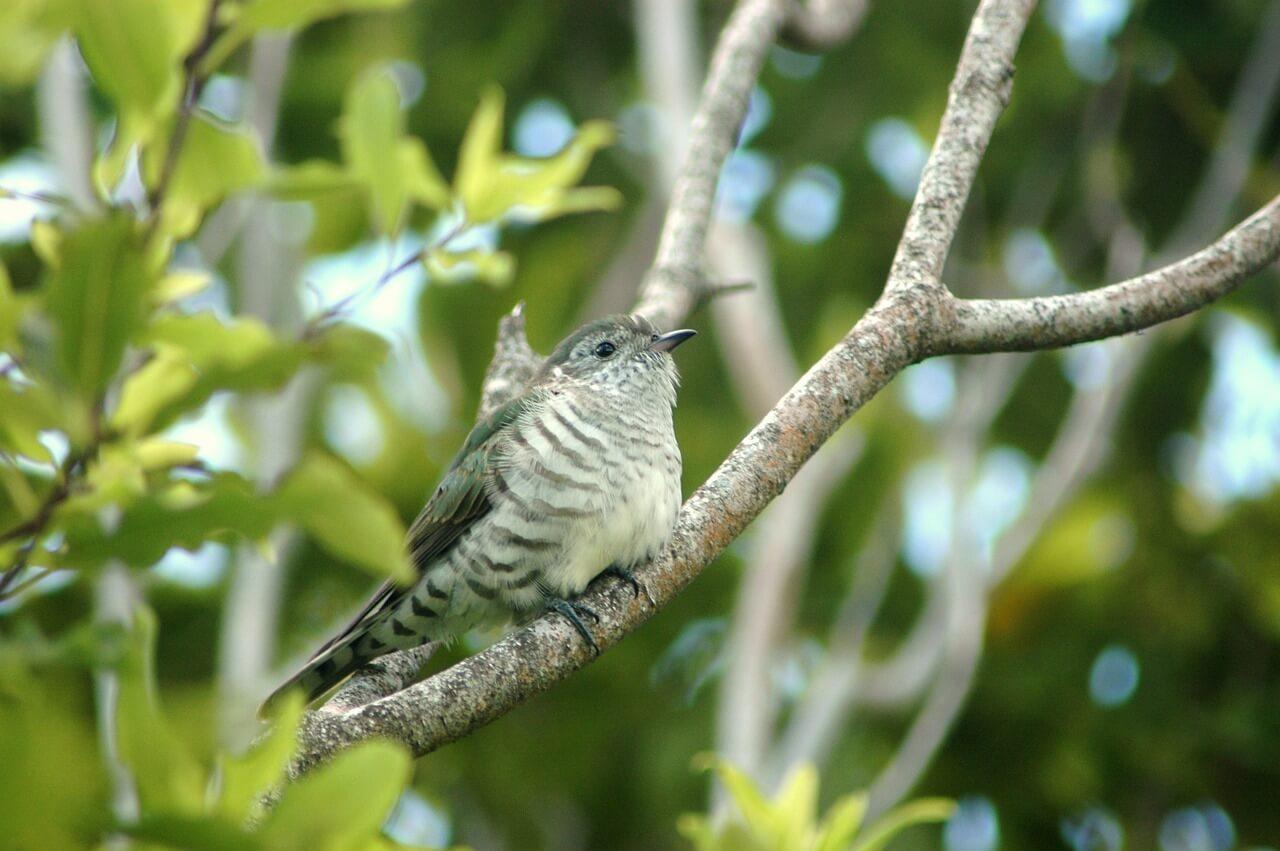 where does the cuckoo bird live