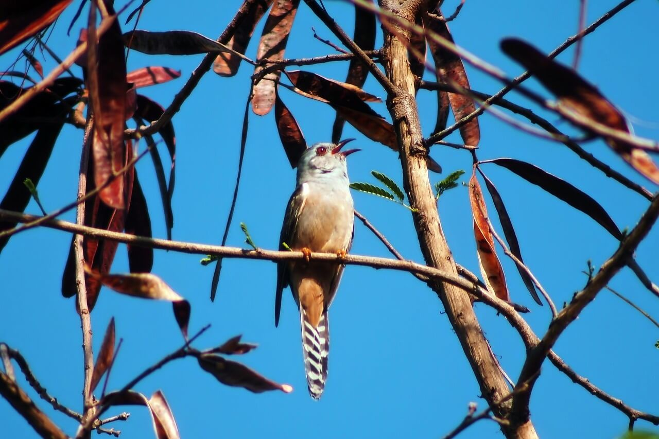 what birds nests do cuckoos lay their eggs in