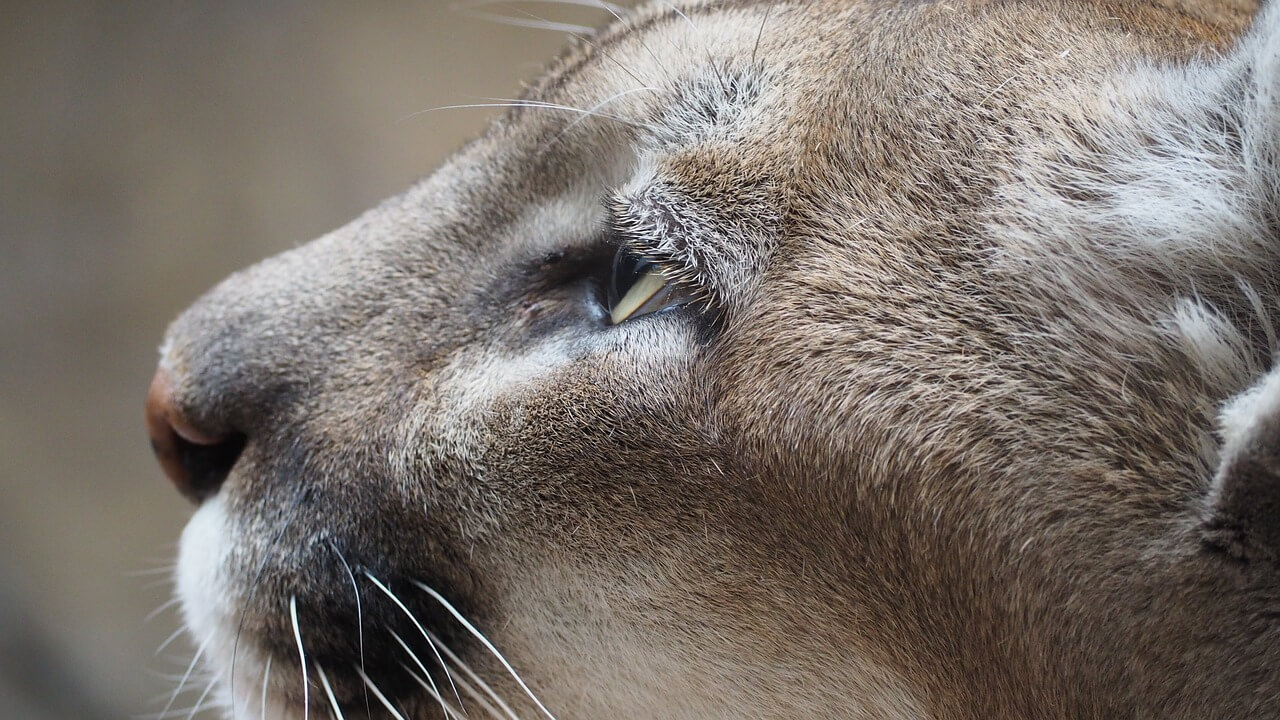 why are cougars endangered