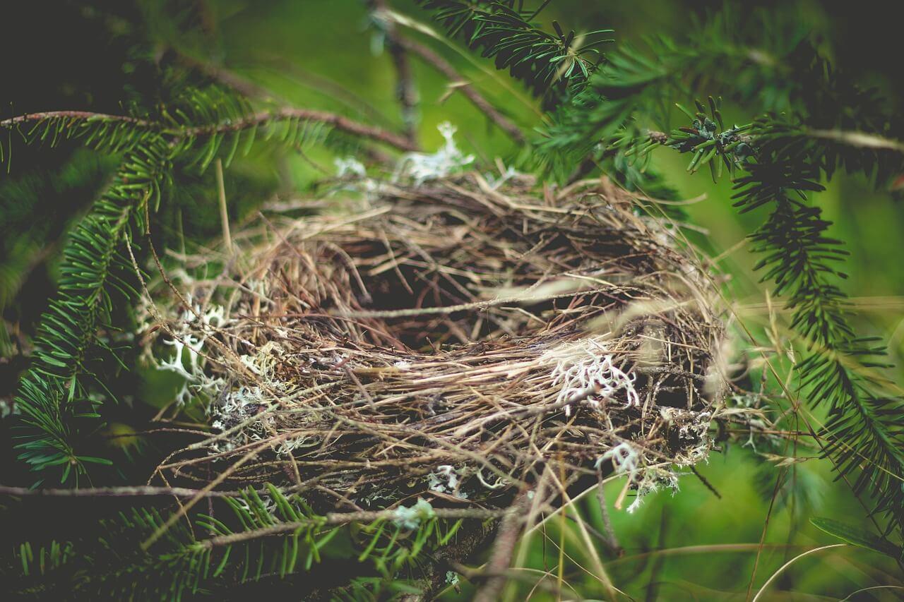 do cuckoo birds build nests