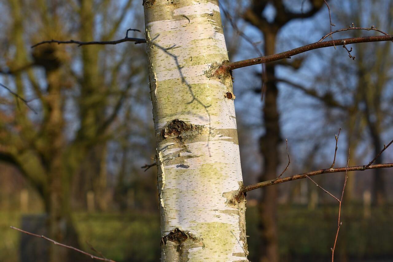 why harvest birch bark