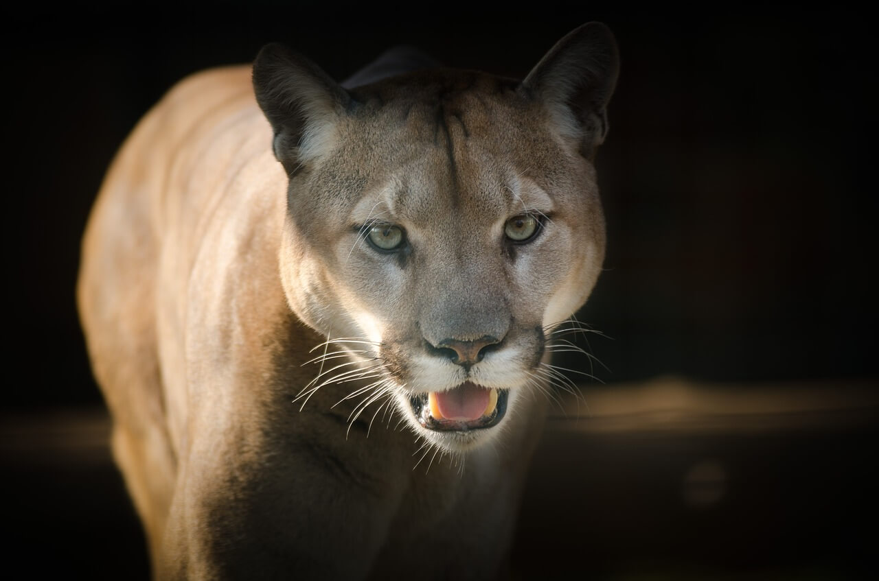 what to do if cougar attacks you