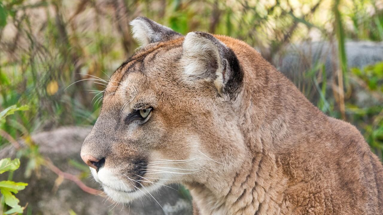 Why Do Cougars Have So Many Different Names