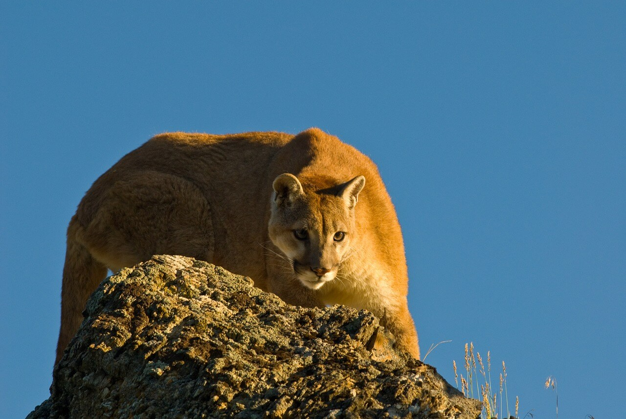how often do cougars need to eat