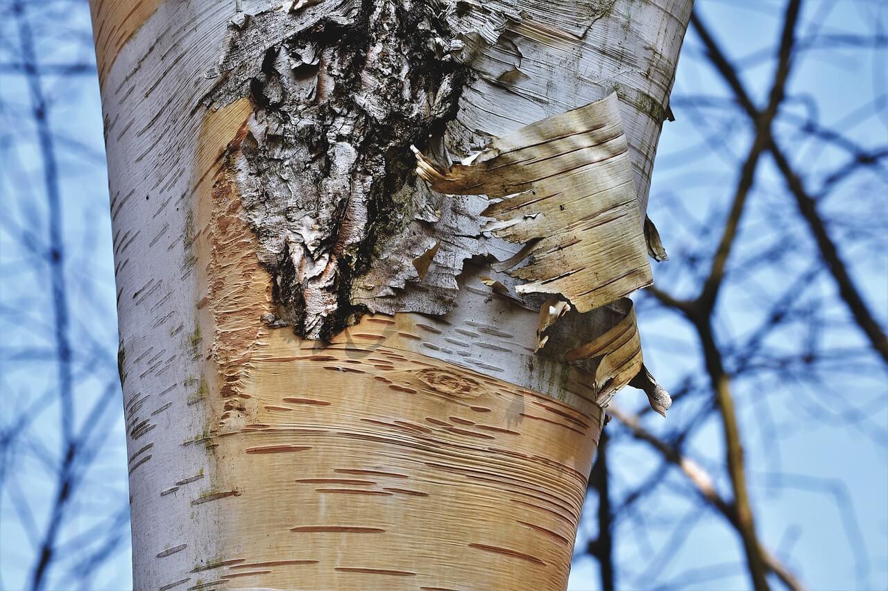 how do you store birch bark
