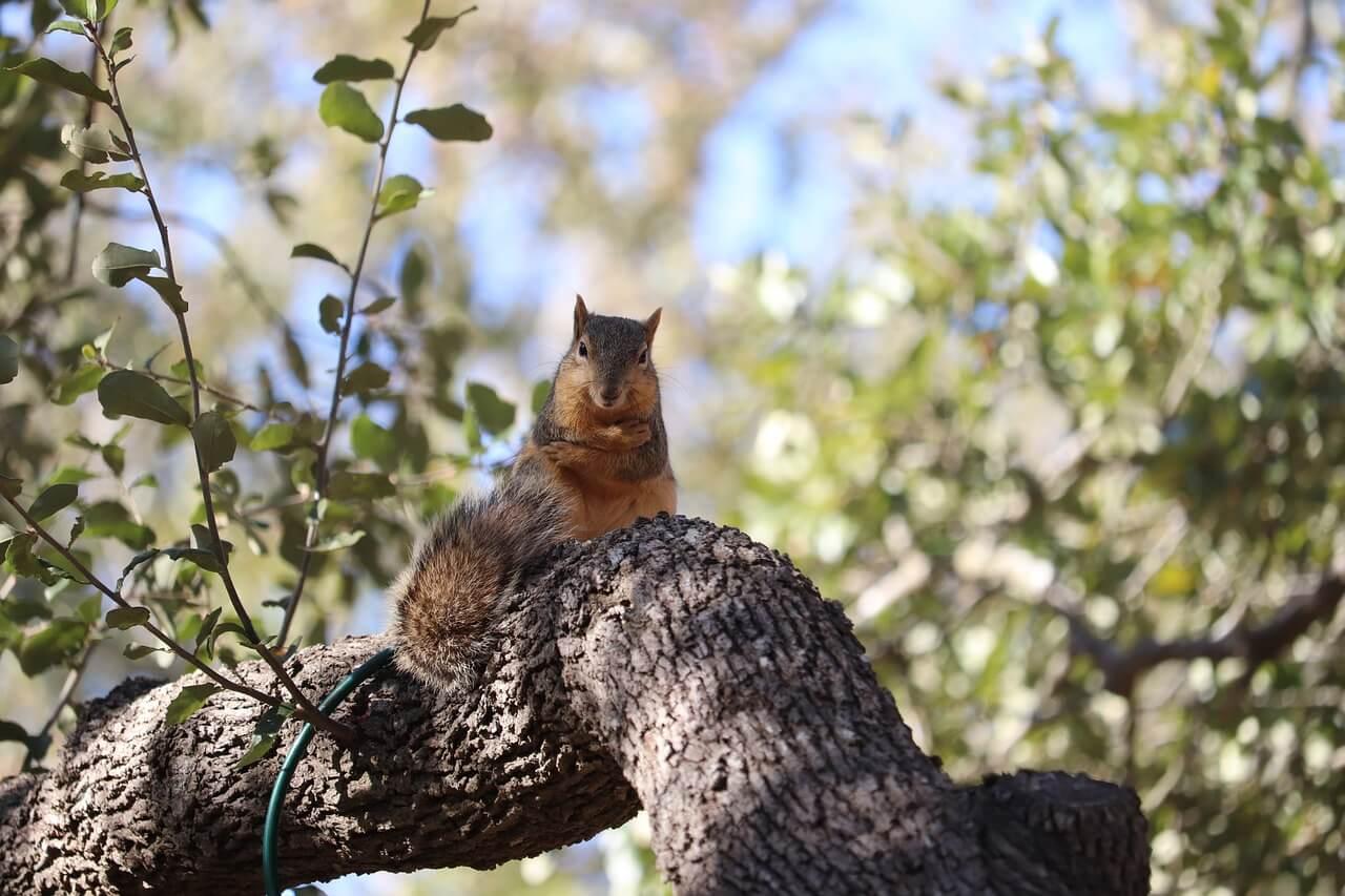 what animals eat oak trees