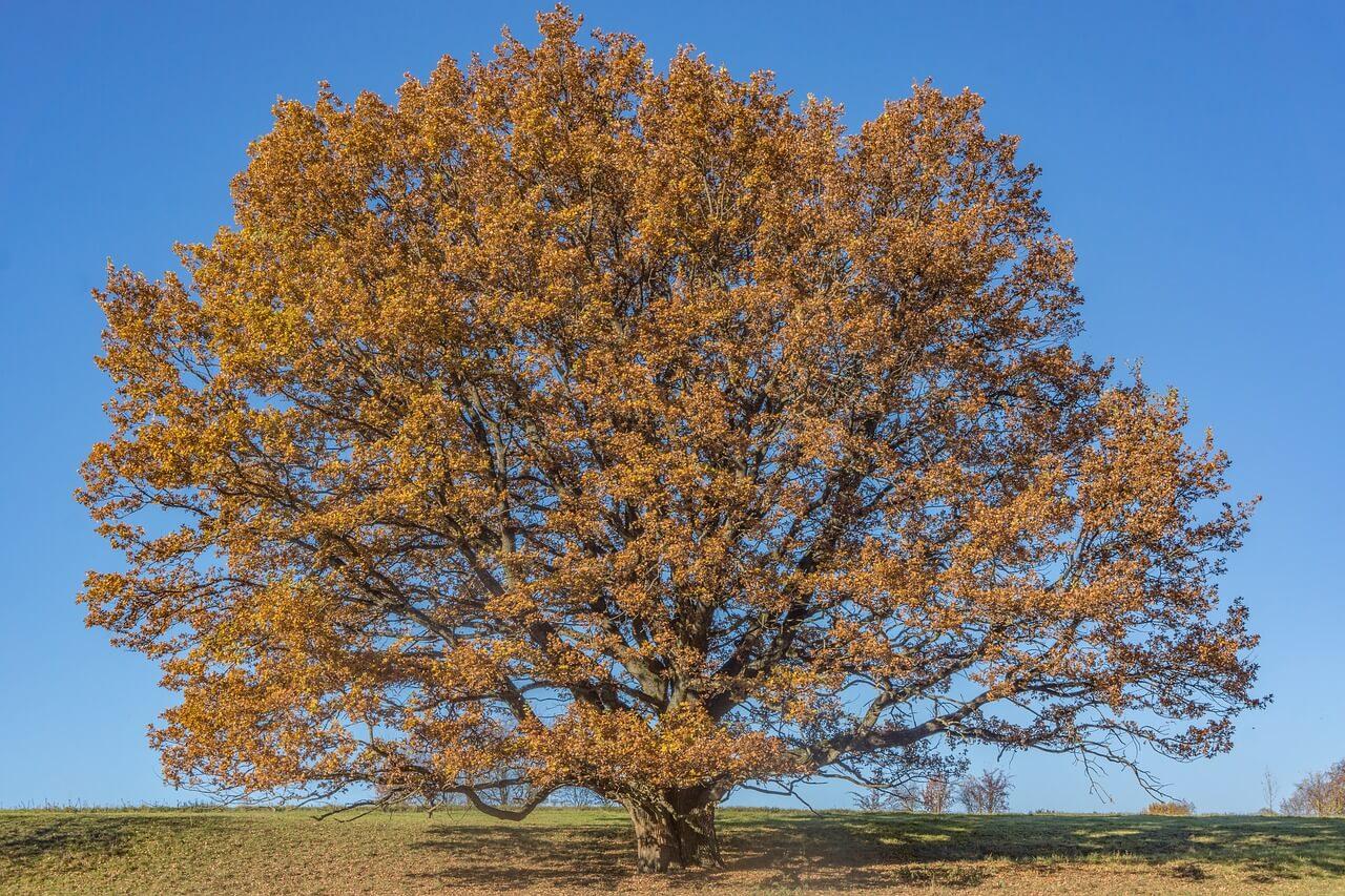 what grows under oak trees