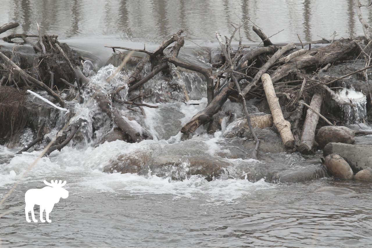 Why Do Beavers Build Dams