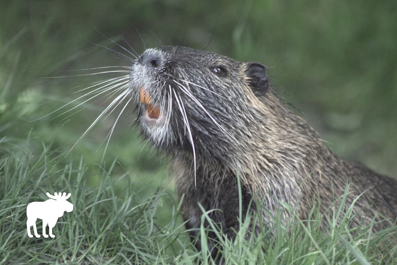 what is beaver favorite food