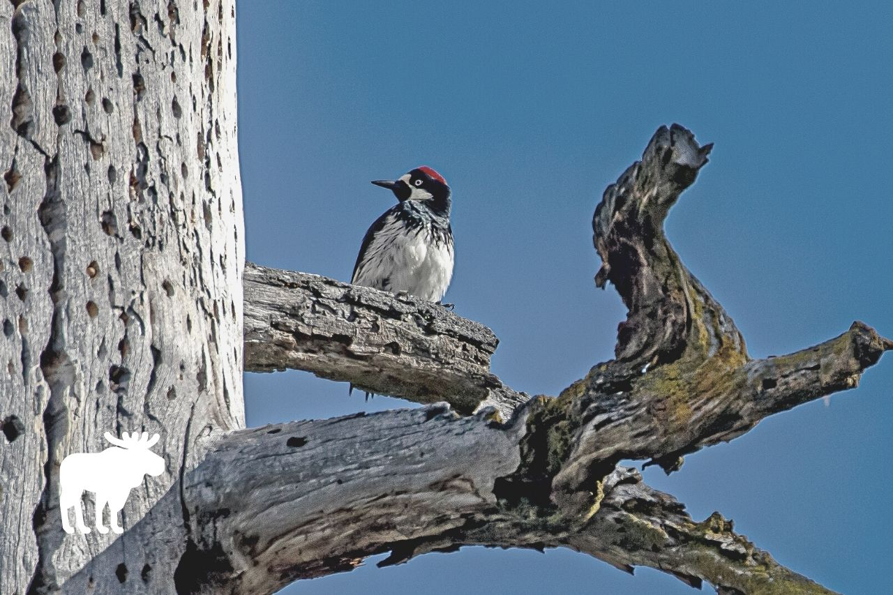 what month do woodpeckers lay eggs