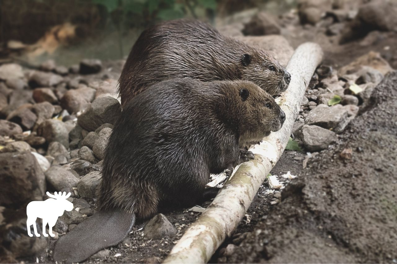 what is the difference between an otter and a beaver