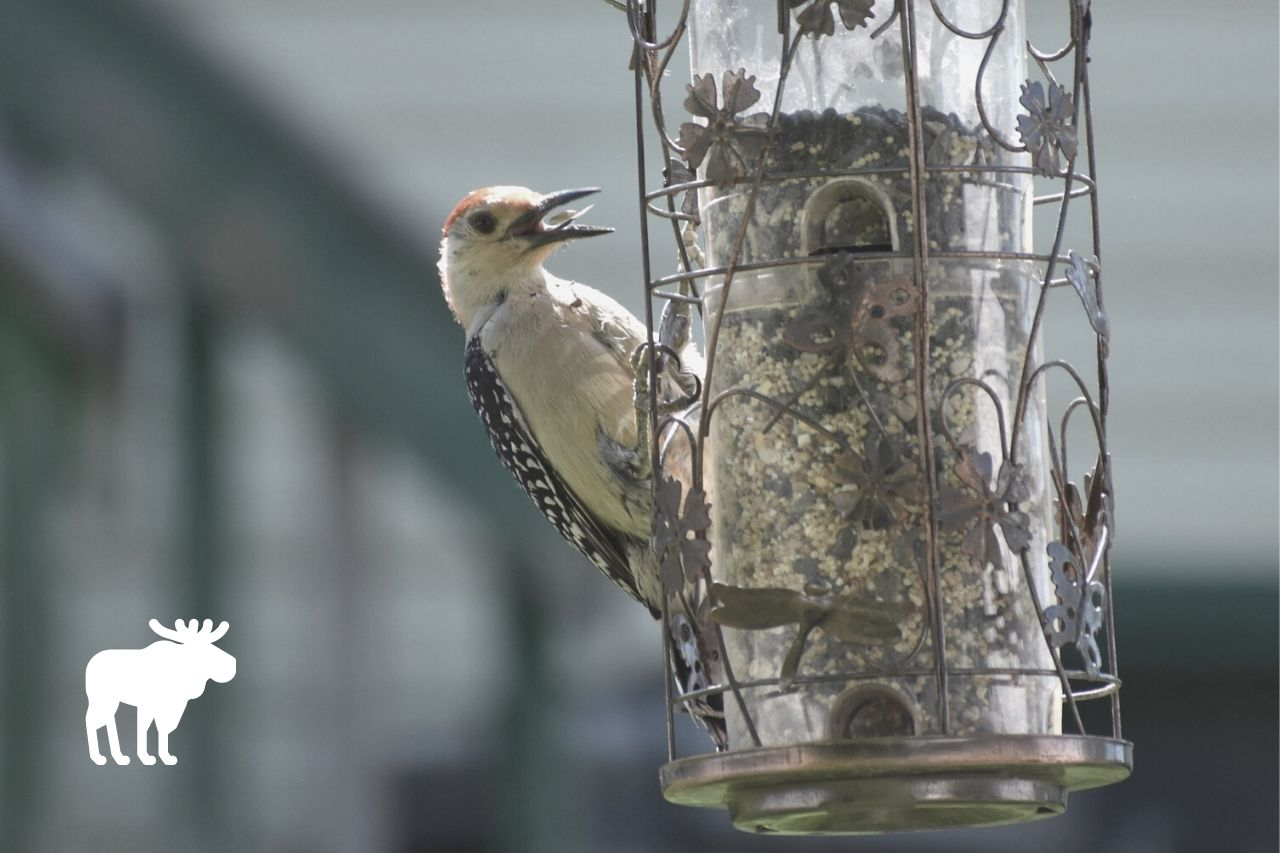 what do woodpeckers eat and drink