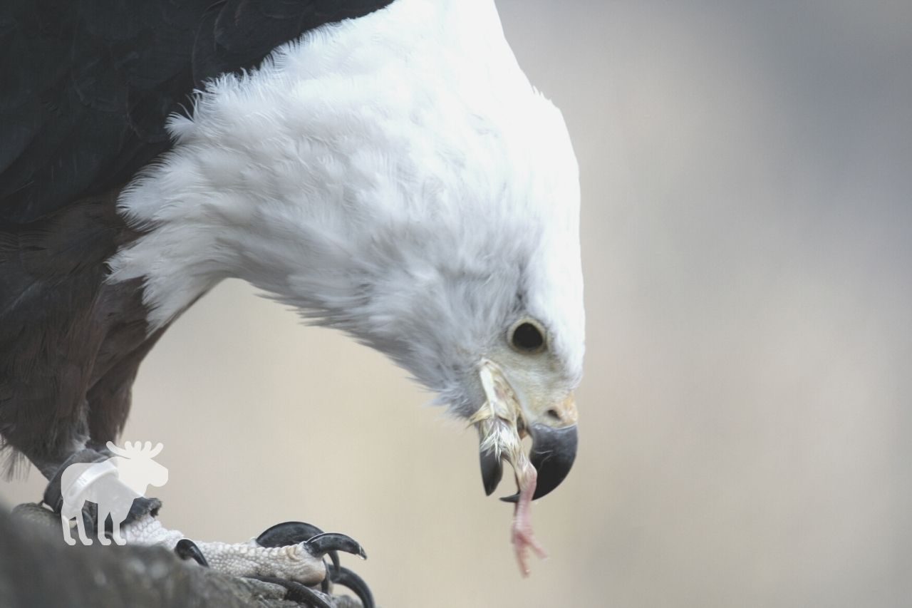 what do eagles eat naturally