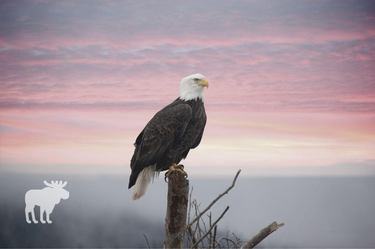 how many eggs do bald eagles lay
