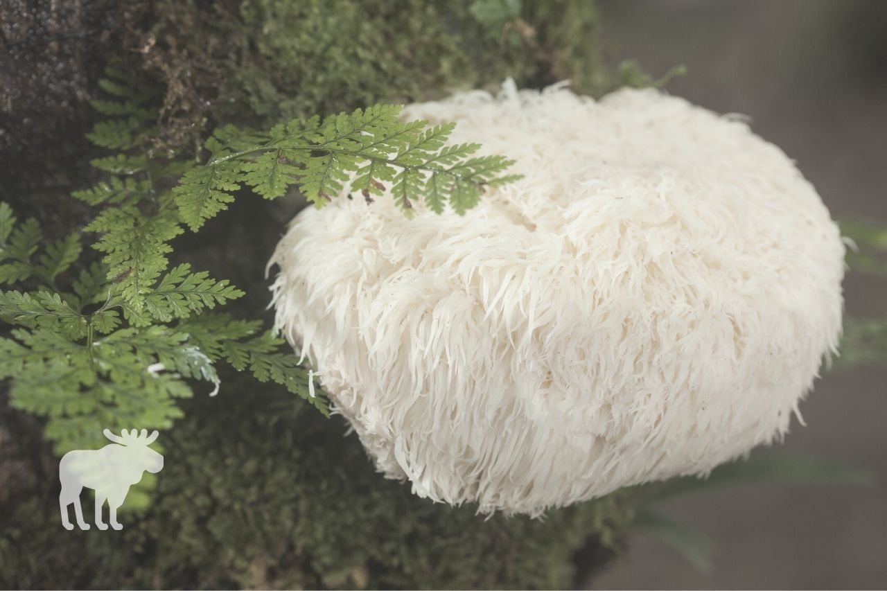 what type of wood do lion's mane mushroom grow on