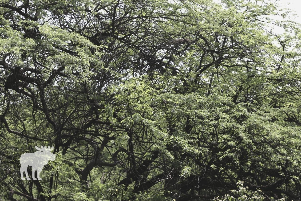 what are acacia trees used for