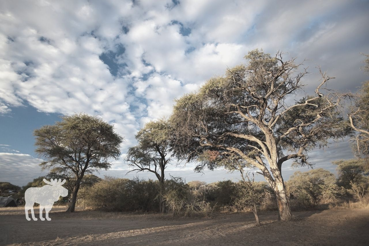 What Are Acacia Trees Good For