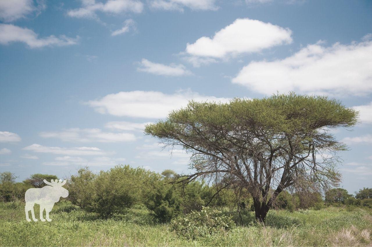 how to grow acacia tree
