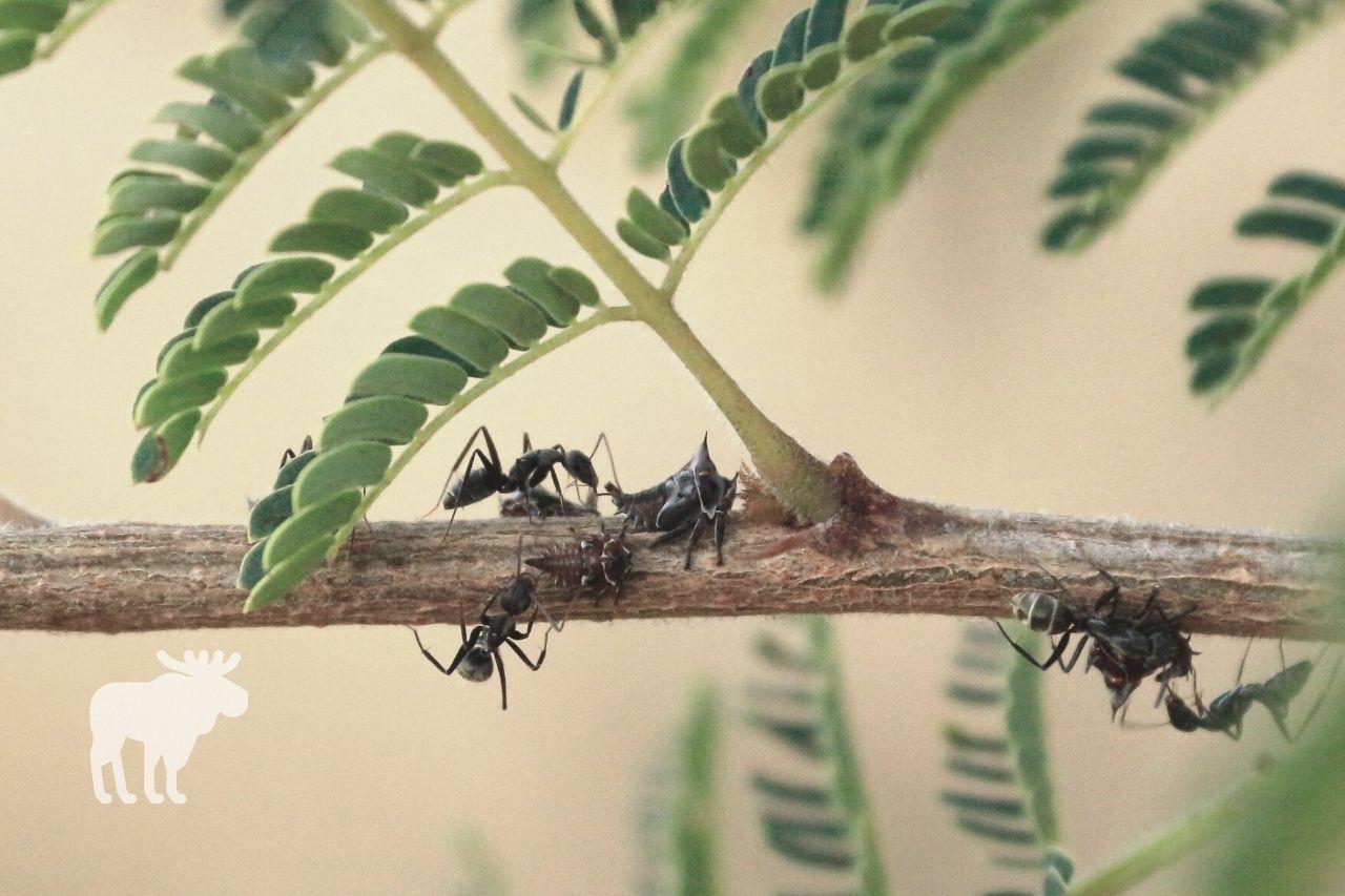 How Do Acacia Trees Benefit Ants