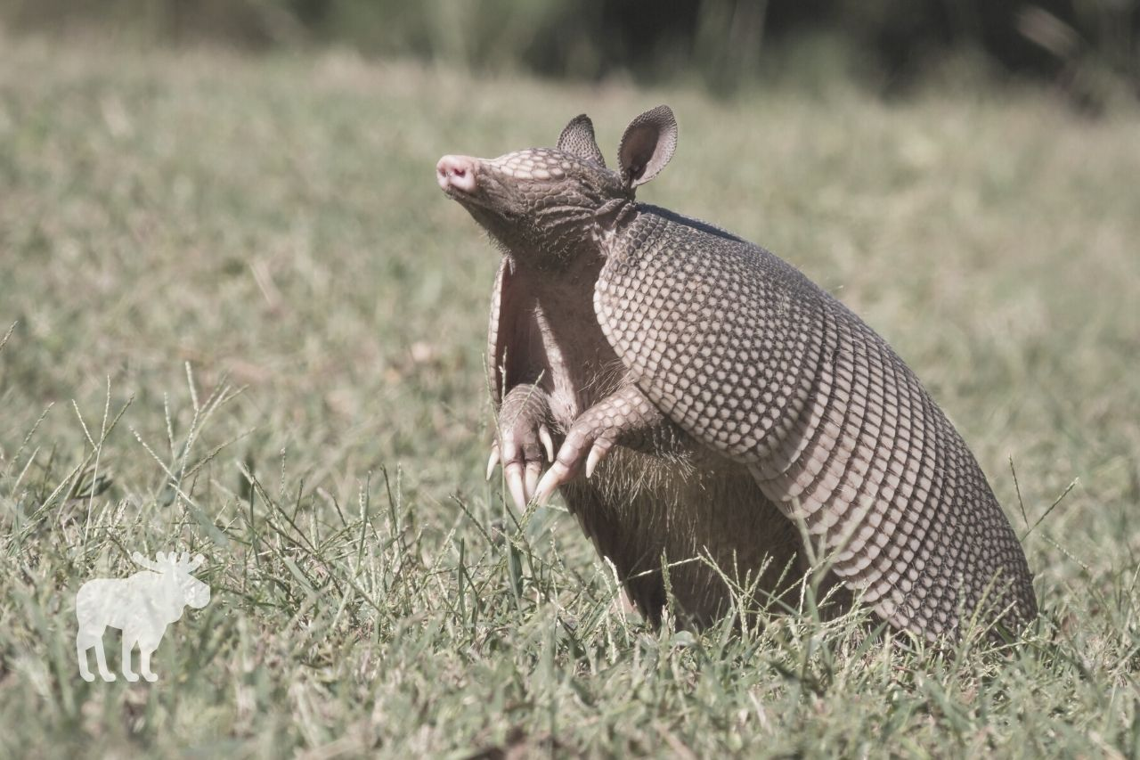 what are armadillos favorite food