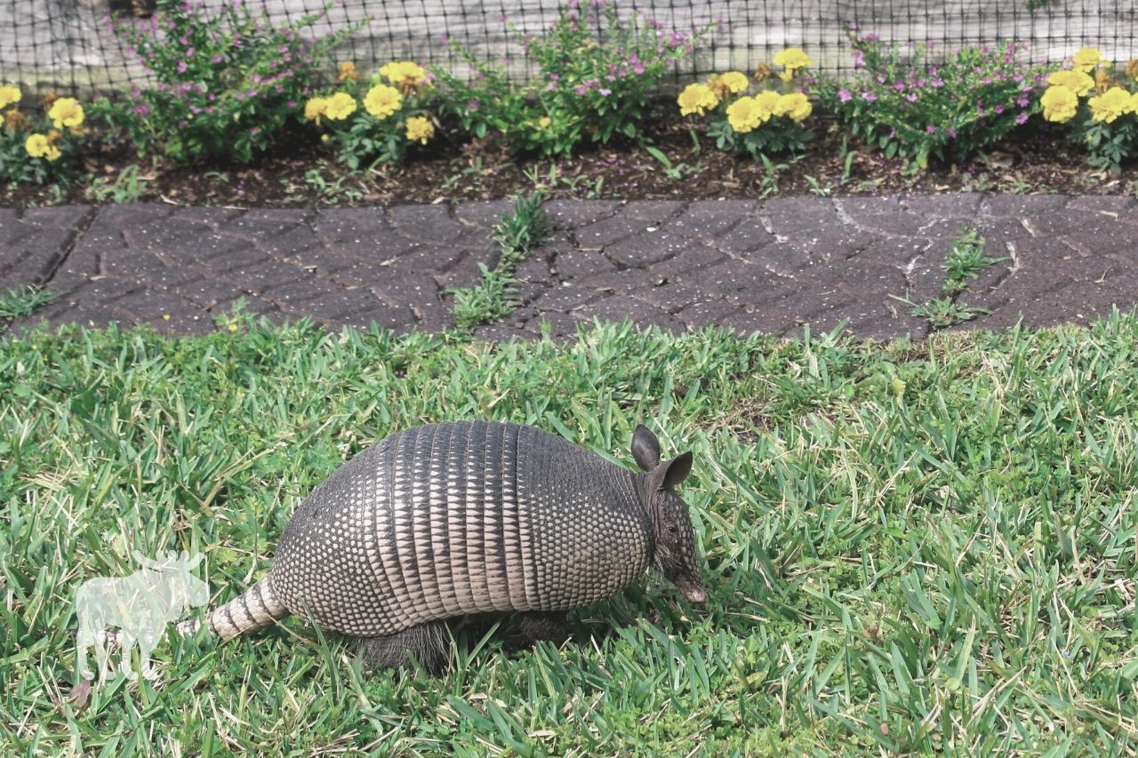are armadillos good to have around